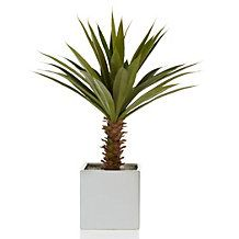 Potted Yucca Plant