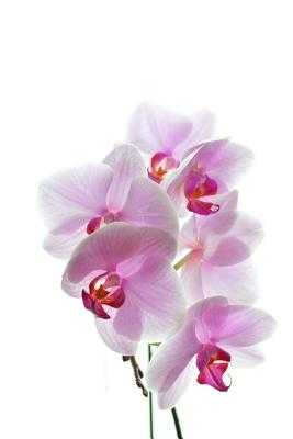 Orchids Notebook - Wild Pages Press